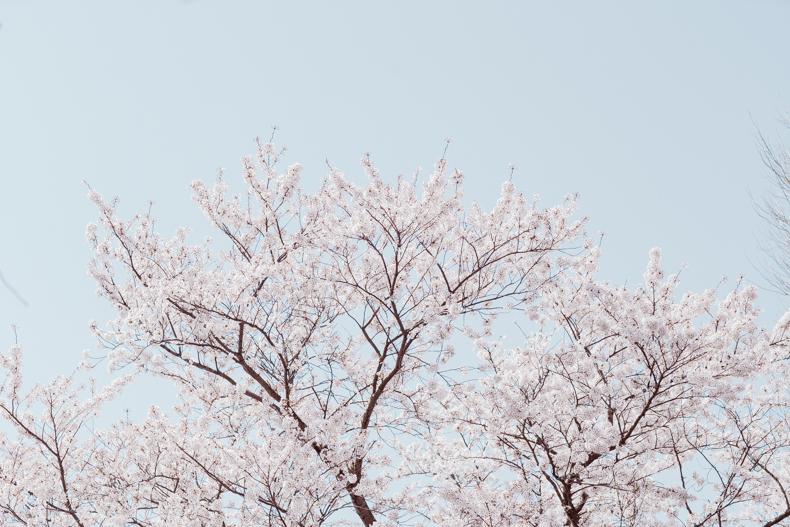 20180331  DSC1039 - 桜満開